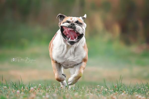 Bootsmann, englische Bulldogge