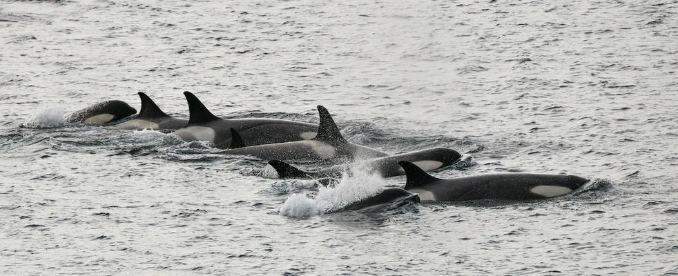 Killer Whales - Gerlache Strait