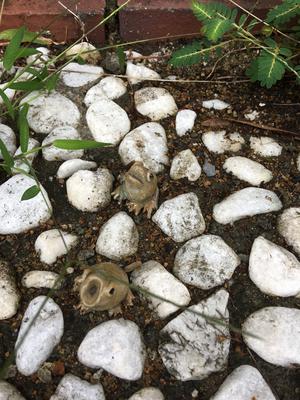 小石の中のカエル。見逃しません