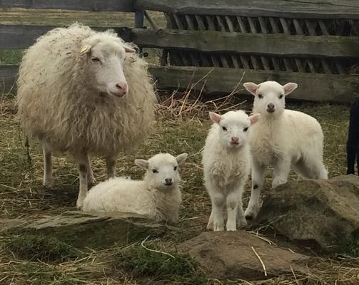 Unsere Skudde-Schafe
