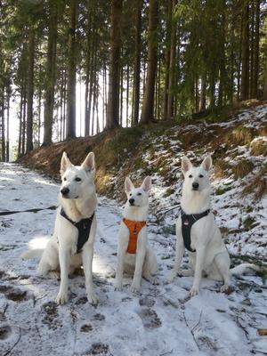 Weisse Schweizer Schäferhunde White of the Arctic
