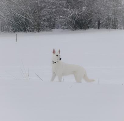 Zuchthündin Gracie Elayne der Zuchtstätte White of the Arctic