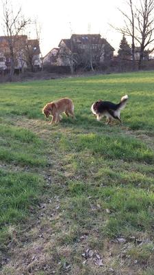 Bellis und Luna beim Spielen auf der Wiese  - leider nicht den richtigen Moment erwischt (Donnerstag, 23. März 2018)