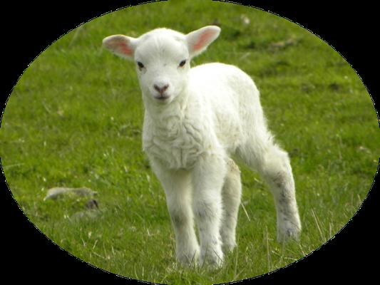 Dieu avait demandé aux Israélites d'offrir en holocauste chaque jour 2 agneaux. La totalité de l'animal était offerte à Dieu, représente le sacrifice de Jésus-Christ, l'Agneau de Dieu sans défaut, qui a offert sa vie parfaite pour les humains.