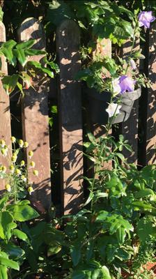 Glockenblumen (Franziska Graupner)