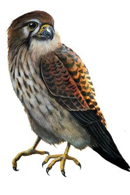 Auf der Zeichnung von Simon Sänger ist die dichte dunkle Fleckung und Querbänderung des Weibchens gut zu erkennen.