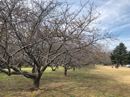 佐倉 城址公園広場の河津桜 写真