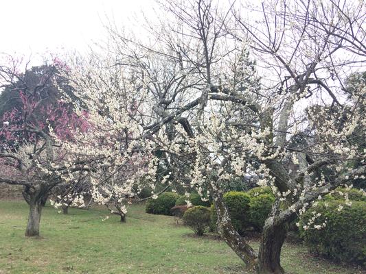 佐倉 城址公園の梅