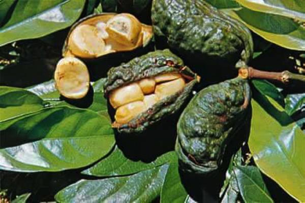 Coques de noix de cola