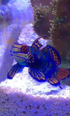 Synchiropus spendidus - Mandarinfisch-Leierfisch (23.01.16)