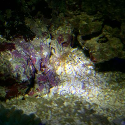 Pseudopolydora pulchra - Spaghettiwurm (2015)