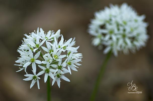 Bärlauch-Blüten  -Mai 16-