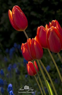 Tulpen  -April17-