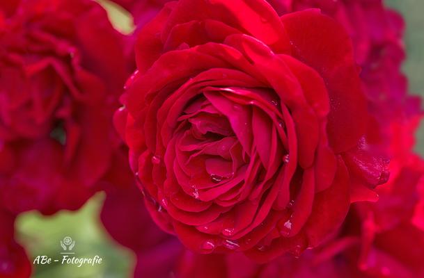 Rose im Garten -August 2021-