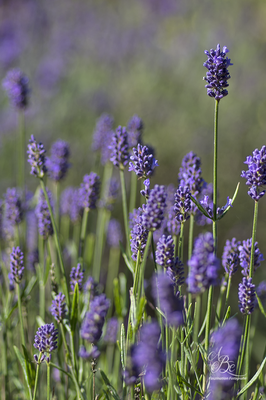 Lavendel  -Juli 16-