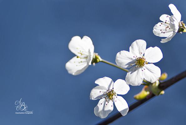 Kirschblüten -April 16-
