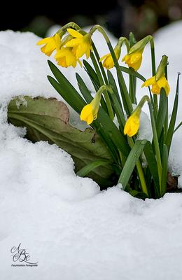 Narzissen im Schnee  -März16-