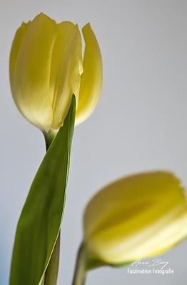 Tulpe  -März 18-