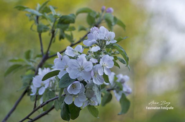 Apfelblüte -April 2019-