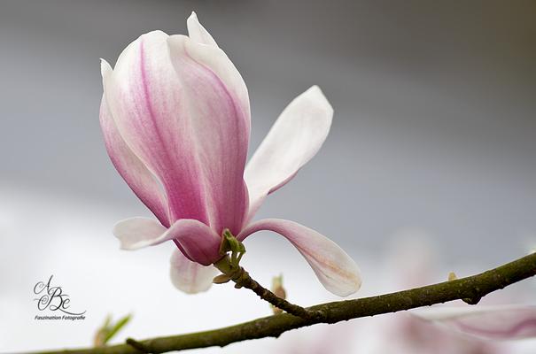 Magnolie  -April 16-