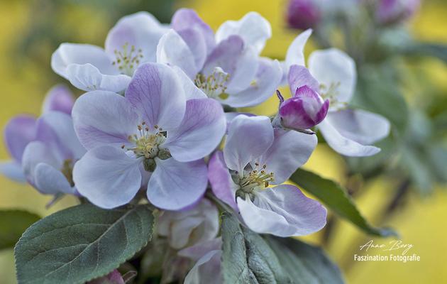 Apfelblüte-April 2019-