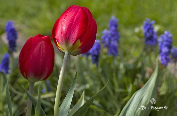 April 2021 -Tulpen-
