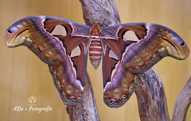 Schmetterlingspark Klütz-Boltenhagen -Atlas Seidenspinner, größter Schmetterling der Welt-  September 2019