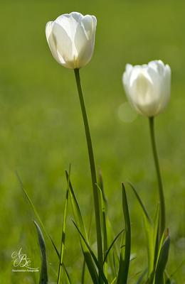 weisse Tulpen  -Mai 16-