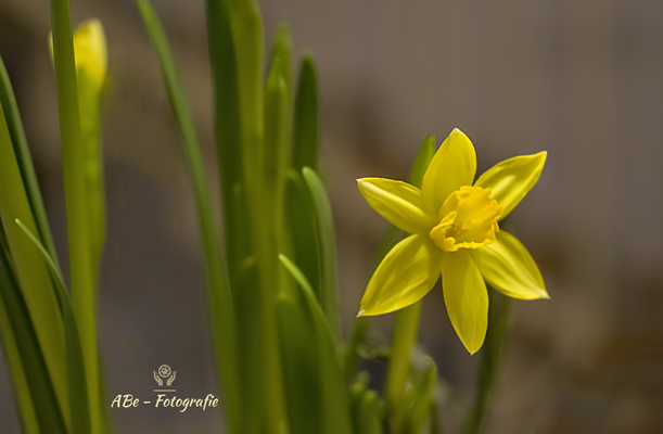 Vorfreude auf den Frühling, Januar 2021 -Narzissen-