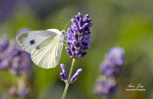 Kohlweißling an Lavendel   -Juli17-