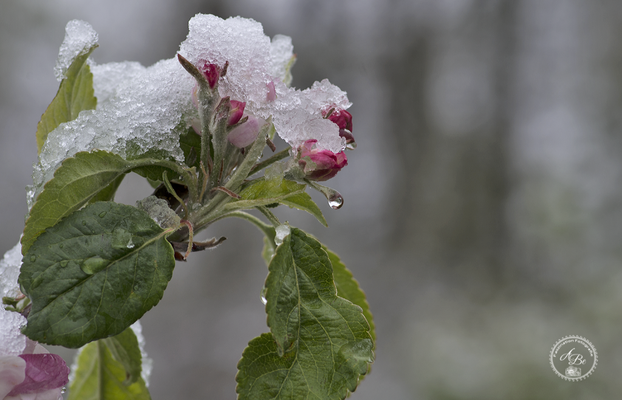 Apfelblüte und Aprilwetter   -April17-