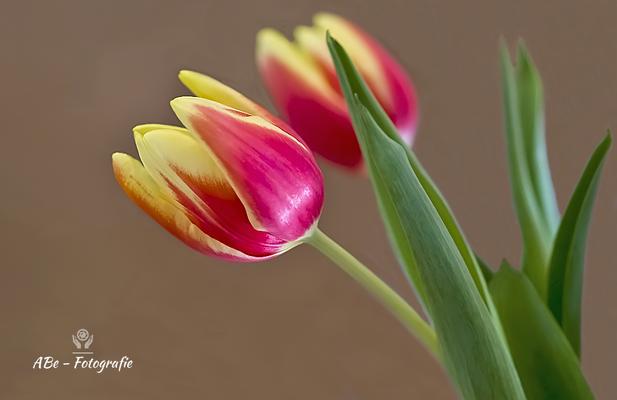 März 2021 -Tulpen-