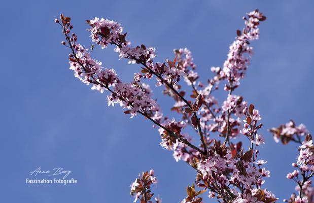Kirschblüten  -April 2018-