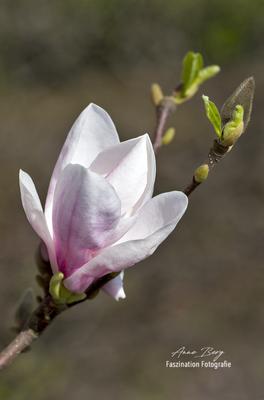 Magnolie  -April 2018-