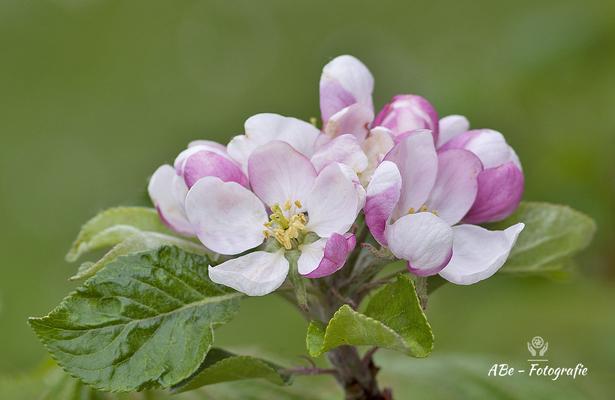Apfelblüte -April 2021-