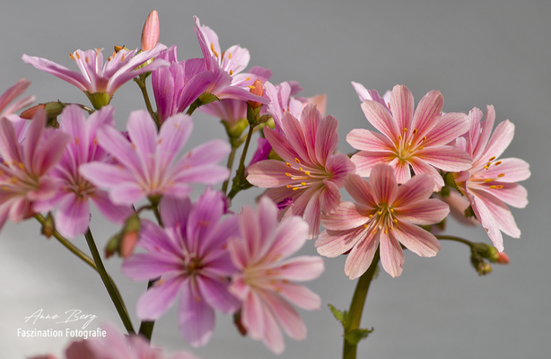 Lewisia -Porzellanröschen-  -April 2018-