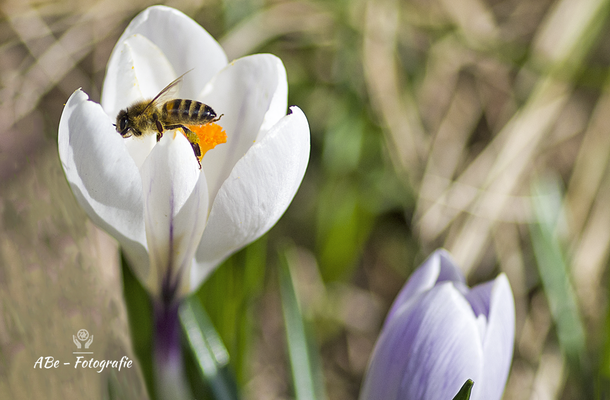 Februar 2021 -Biene an Krokus-
