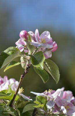 Apfelblüten  -Mai16-