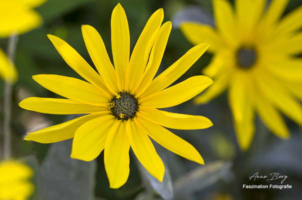 kleine Sonnenblume  -Aug.17-