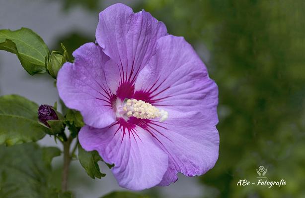 Hibiskus im Garten -August 2021-