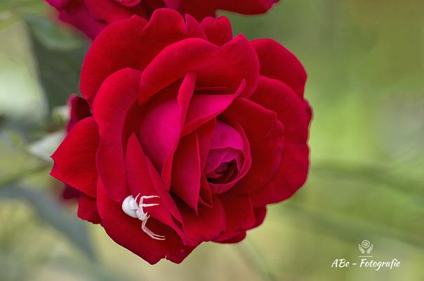 Rose im Garten mit Krabbenspinne -August 2021-