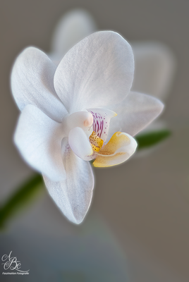 Phalaenopsis--Feb.16-