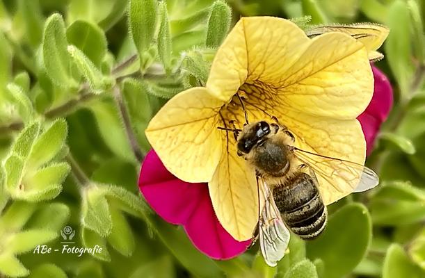 Juli 2021 -Biene an Zauberglöckchen-