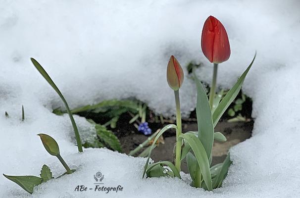 Tulpen im Schnee -April 2021-