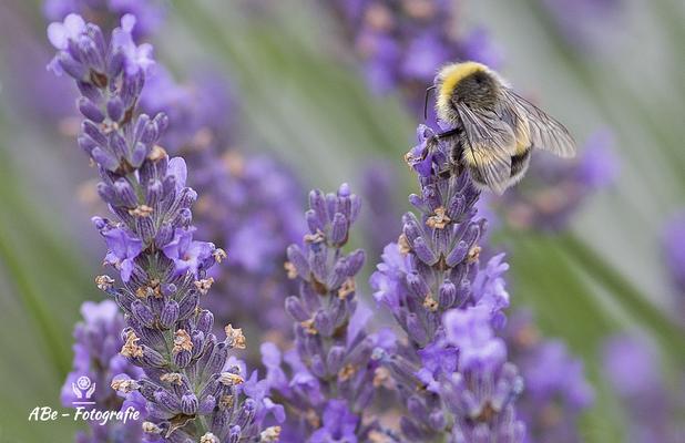 Biene an Lavendel -Juli 20-
