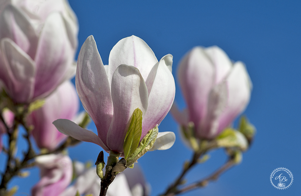 Magnolien -April17-