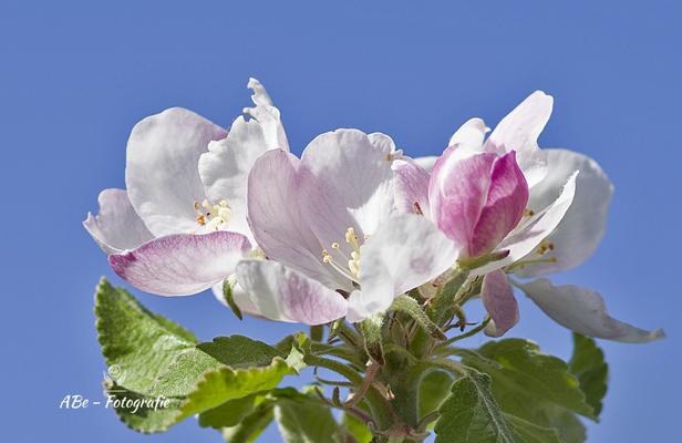 Apfelblüte  April 2020