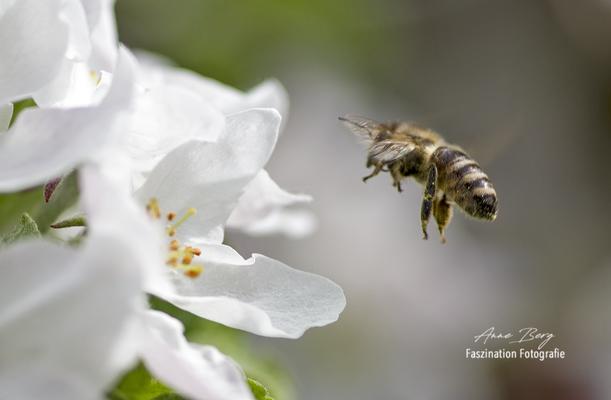 Biene im Anflug auf Apfelblüte  -April 2018-