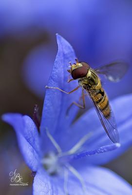 Schwebfliege an blauer Blüte  -Juni 16-