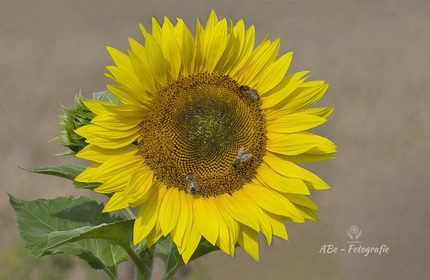 Sonnenblume -August 2020-